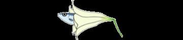 百合沙丁魚